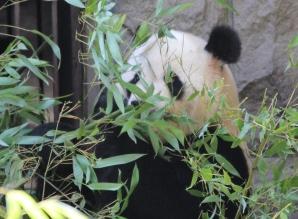 Panda - Beijing Zoo