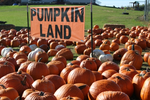 It's hard work pickin' out just the right punkin' from Pumpkin Land!