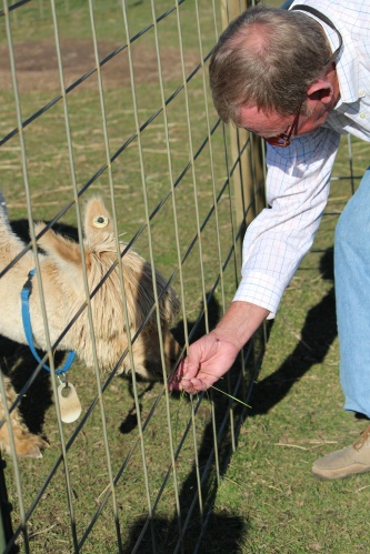 Bert feeds one of the alpacas at Supersuris Alpaca Ranch