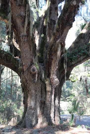 Stately old trees abound in Paynes Prairie Preserve