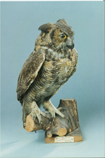 Mounted bird, Great Horned Owl