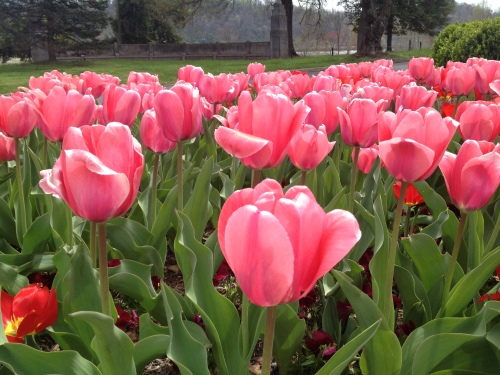 Pink tulips, Knoxville, TN