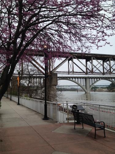 Redbuds along Knoxville's Lake Loudon