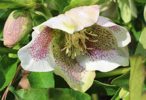 Lenten Roses, Helleborus Orientalis