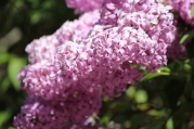 Lilacs bloom profusely in the Palouse