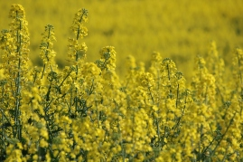 Canola country