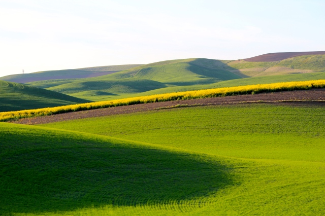 Green rolling hills of the Palouse with a planting of yellow canola