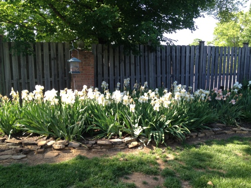 A mass of white iris, Knoxville, TN
