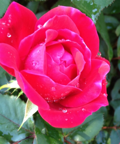 Knock-out roses: Red