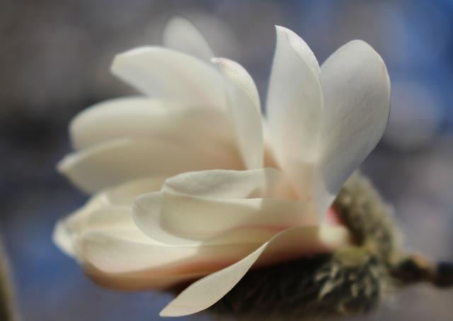 budding white star white magnolia