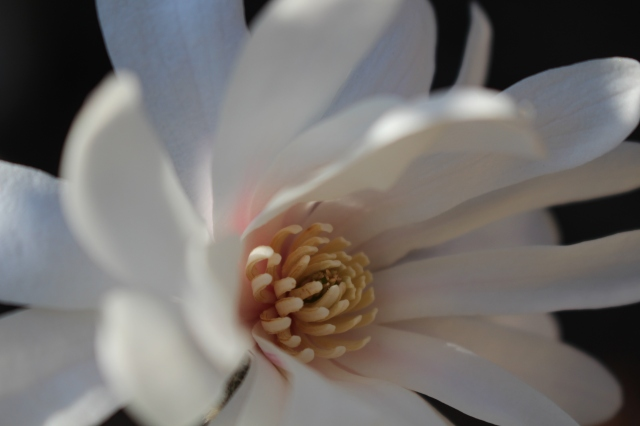 White Star Star Magnolia - full bloom