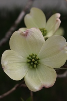 Two white dogwoods