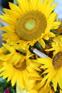 Sunflowers in a bucket
