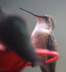 Close-up hummingbird