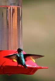 Hummingbird -- Rocky Mtn.