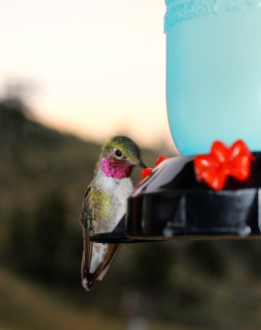 Red-throated hummingbird