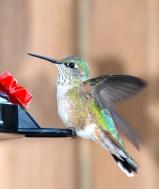 Rocky Mtn. hummingbird