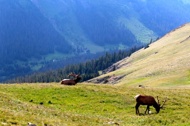 Elk at eventide: Rocky Mtn. National Park