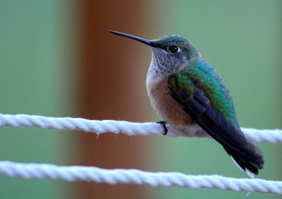 Hummingbird on hammock