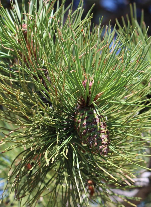 New pine cone on branch