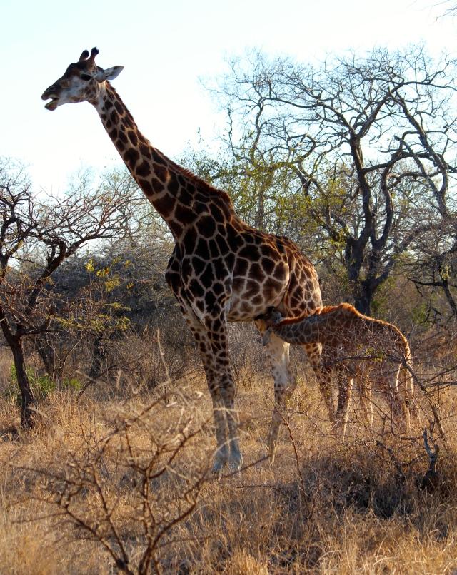 Baby giraffe nursing