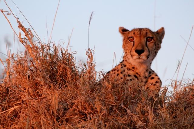 Cheetah, Thornybush Game Reserve