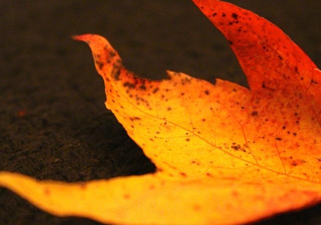 Fiery glow -- autumn leaves