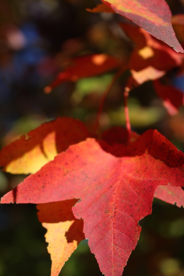 Yellow leaves turning red