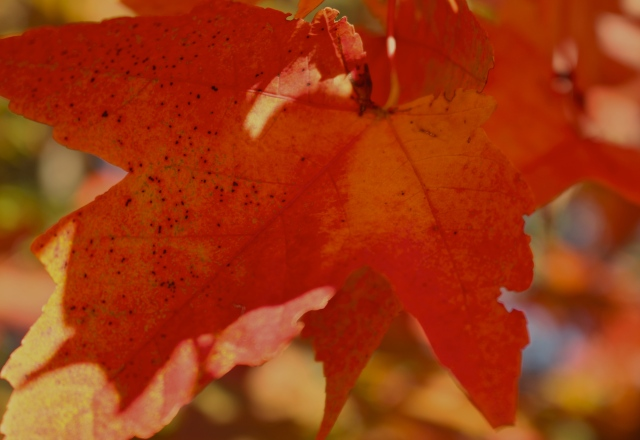 Brilliant red leaves, Plantation Springs