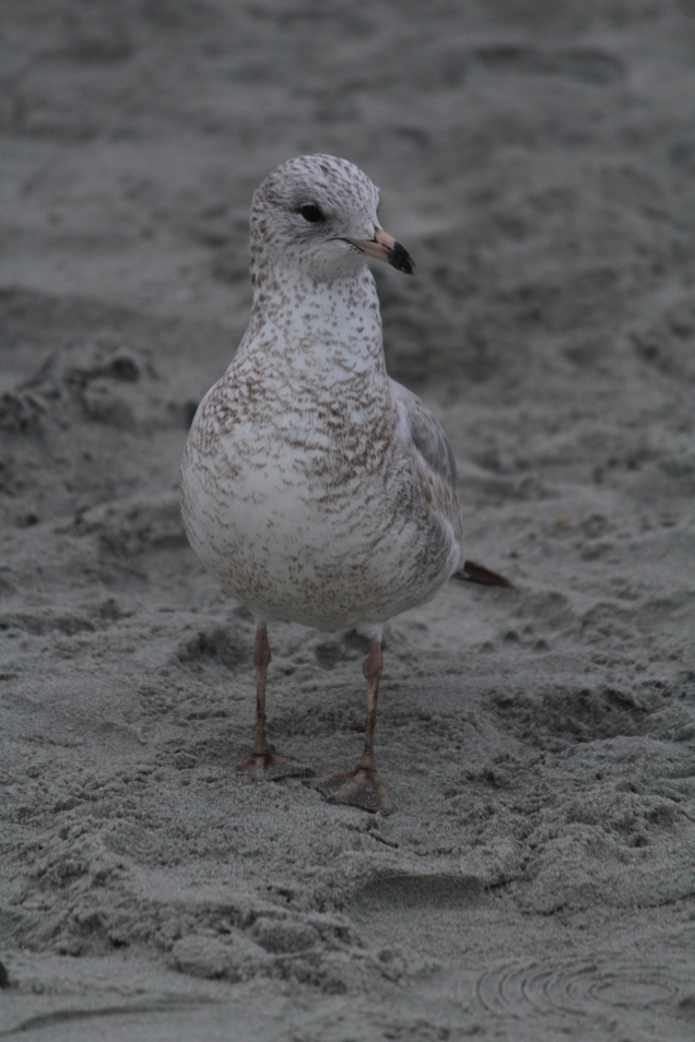 Gull on beach -- Tybee Island