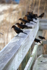 Birds on a rail -- Tybee Island