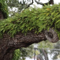 Greenery fully growing on the branch of this Southern tree