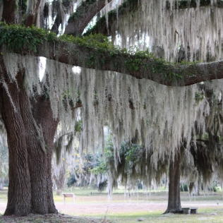 Trees with Spanish Moss, Fort Frederica