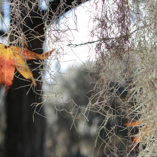 Wisps of Spanish moss, Fort Frederica
