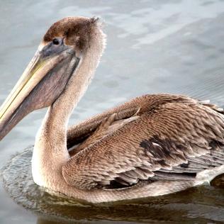 Bird on a mission, Amelia Island