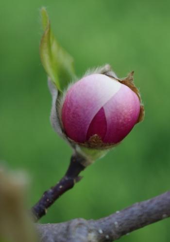 Bud -- Saucer Magnolia