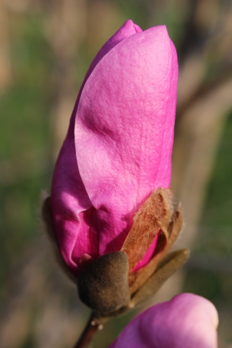 Almost open -- Saucer Magnolia