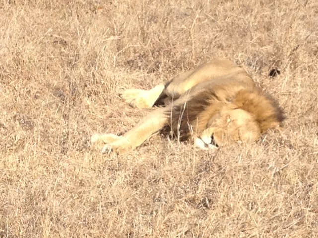 Lion - Thornybush Game Preserve, South Africa