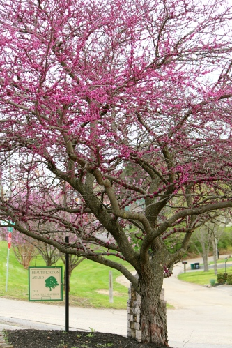Redbud tree in full bloom at Berry Funeral Home, Chapman Highway