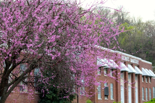 Former Kern's Bakery building looks ready for the festival with the classy, old redbud in full bloom.