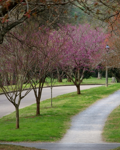 Redbuds lining the walking trail on Cherokee Boulevard.
