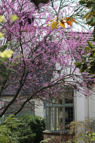 Redbuds in full bloom at Cherokee Country Club