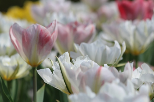 Tulips at Cherokee Country Club, 2015