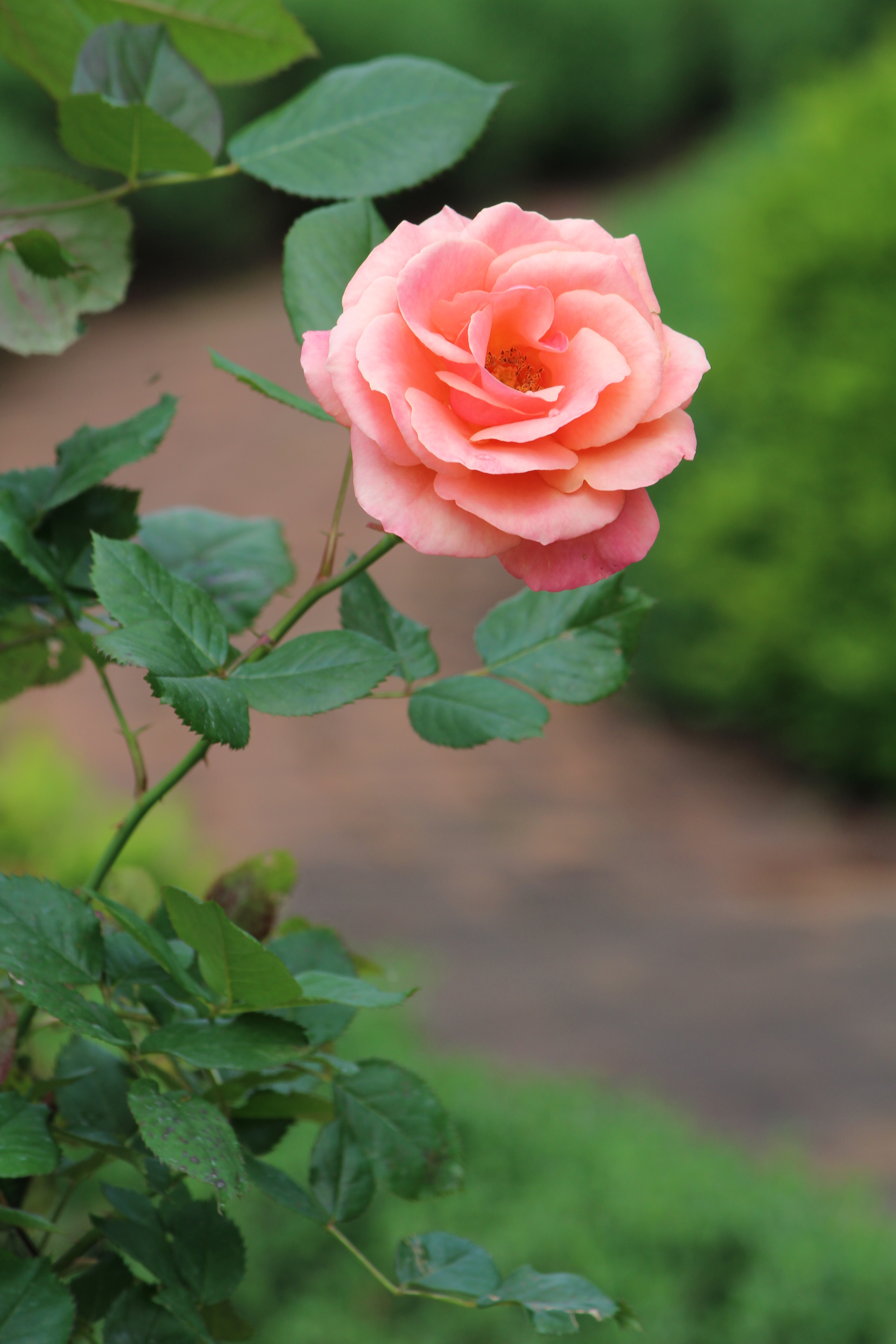 Roses In Garden: Lane Hays's Garden: A Dogwood Featured Garden 2015