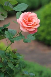 Single rose -- Lane Hays's garden