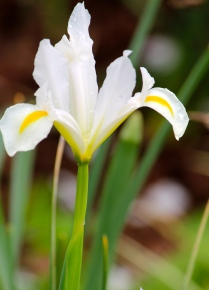 White iris -- Lane Hays's garden