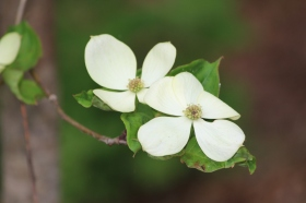 Late-blooming white Japanese dogwood
