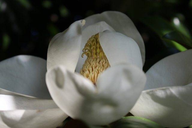 Magnolia grandiflora --  View from inside