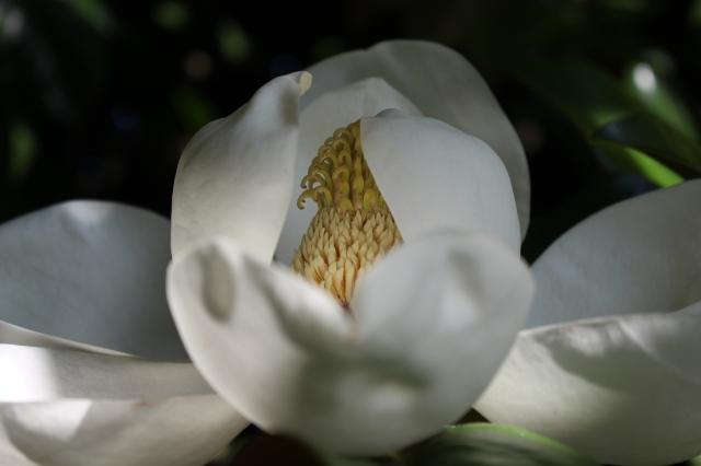 Magnolia grandiflora --  View from inside