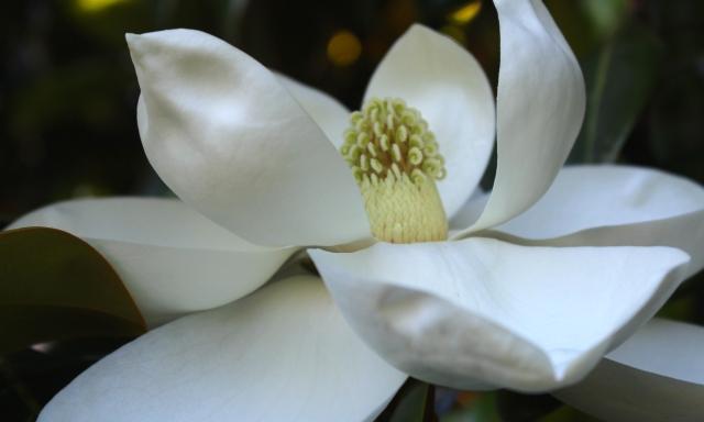 Magnolia grandiflora -- fully open